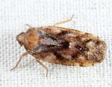 Cixidia sp.