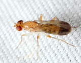 Clusia lateralis