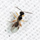 Braconid Wasps - subfamily Brachistinae