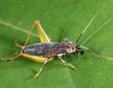Handsome Trig - Phyllopalpus pulchellus (immature)