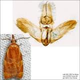 3716 – Spring Dead-leaf Roller Moth – Cenopis diluticostana