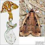 11007 – Sigmoid Dart Moth – Eueretagrotis sigmoides