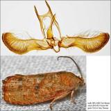 3494 – Filbertworm Moth – Cydia latiferreana