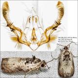 2820 – Malana Leafroller Moth – Olethreutes malana