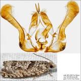 3334 – Maple Trumpet Skeletonizer Moth – Catastega aceriella