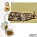2859 – Celypha Moth – Celypha cespitana