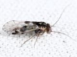 Indiopsocus bisignatus