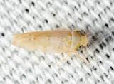 Leafhoppers genus Atanus