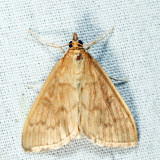 4956 -  Anania extricalis