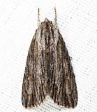 9266 - Streaked Dagger - Acronicta lithospila