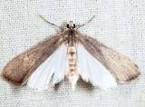 4759 - Polymorphic Pondweed Moth - Parapoynx maculalis
