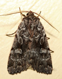 10968 – Northern Variable Dart Moth – Xestia badicollis