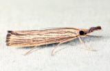 5403 - Vagabond Crambus - Agriphila vulgivagellus