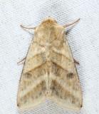 11071 - Tobacco Budworm Moth - Chloridea virescens