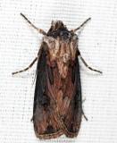 10651 - Venerable Dart - Agrotis venerabilis