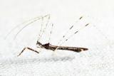 Empicoris errabundus