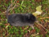 Star-nosed Mole - Condylura cristata