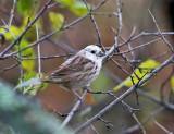 leucistic Song Sparrow - Melospiza melodia