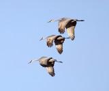 Sandhill Cranes - Antigone canadensis