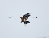 Eagles and Ospreys