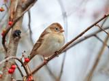 Field Sparrow - Spizella pusilla