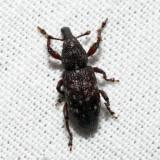 Hylobius radicis