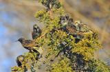 European Starlings eating juniper berries