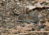 Meadow Vole - Microtus pennsylvanicus