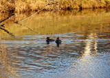 Hooded Mergansers in late afternoon