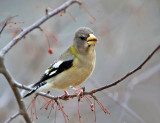 Evening Grosbeak - Coccothraustes vespertinus