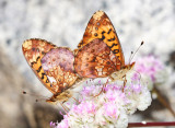 Pacific Fritillaries - Boloria epithore