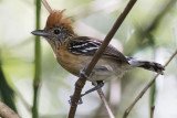 Black-crested Antbird, female