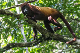 Guianan Red Howler Monkey