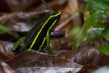 Three-striped Poison-Frog