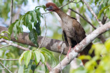 Little Chachalaca