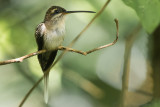 Staright-billed Hermit