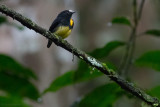 White-fronted Manakin, male
