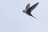 Neotropical Palm-Swift