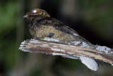 Black-shouldered Nightjar (Caprimulgus nigriscapularis)