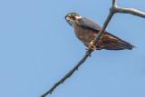 African Hobby (Falco cuvierii)