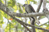 Least Honeyguide (Indicator exilis)