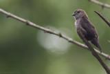 Ussher's Flycatcher (Muscicapa ussheri)