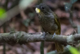 Western Bearded Greenbul (Criniger barbatus)