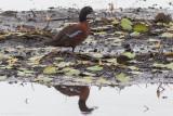 Hartlaub's Duck (Pteronetta hartlaubii)