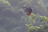 Yellow-casqued Hornbill (Ceratogymna elata)