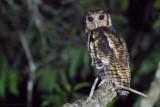 Fraser's Eagle-Owl (Bubo poensis)