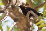 Carmelite Sunbird (Chalcomitra fuliginosa)