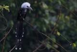 White-crested Hornbill (Horizocerus albocristatus)