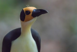 Yellow-headed Picathartes (Picathartes gymnocephalus)