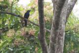 Nimba Flycatcher (Melaenornis annamarulae)